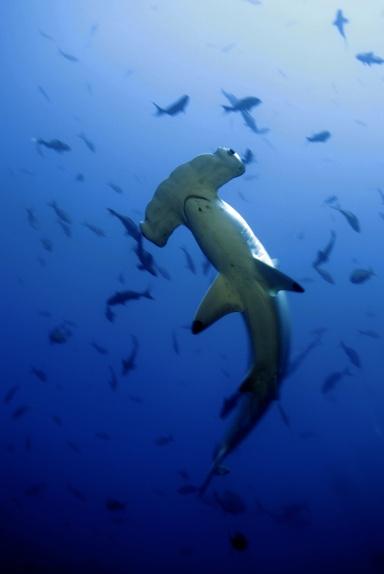 Cocos-Island-Costa-Rica-Hammerhead-Shark-Overhead-Shark-Week