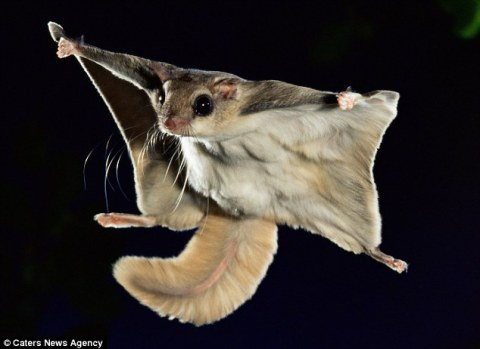 Flying Squirrel 1